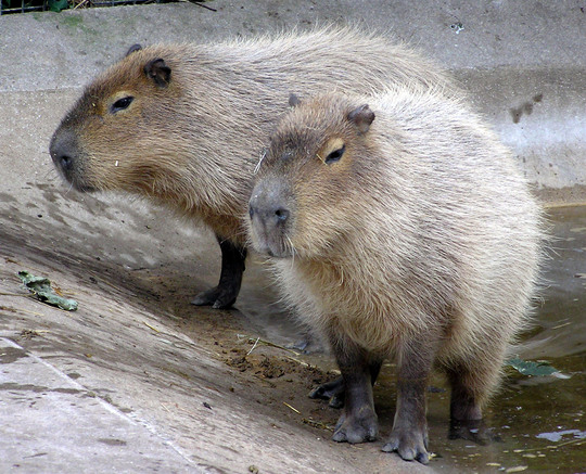 Two Capybara, which are like massively sized up guinea pigs, like sized up to dog size, in a concrete bowl at Bristol Zoo